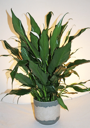 Peace Lily in decorative container.  from Fields Flowers in Ashland, KY
